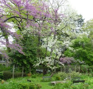 front_garden_redbud