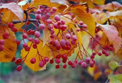 Korean_sorbus2