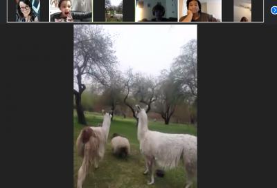 Llamas_ward