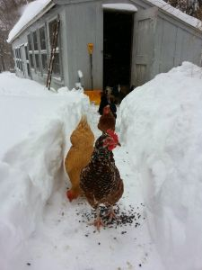 hens_headed_out
