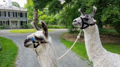 llamas_at_WE