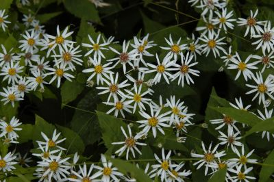 wood_aster