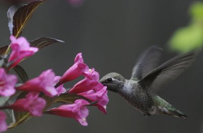 Image result for weigela with hummingbird